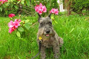 Dog Walker Broadview, Bellevue Seattle Dogs, Dog Walking 98177