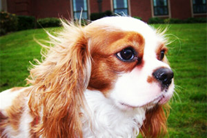 Sniff Seattle Bellevue Dog Walkers, Cavalier King Charles Spaniels, Dog Walker 98103