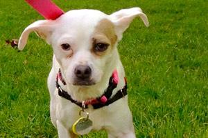 Belltown Dogwalker, Chihuahuas, Bellevue Seattle Dog Walkers