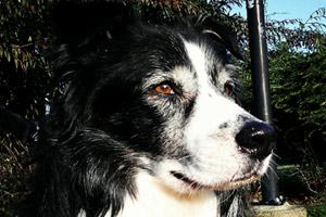 Dog Walking Blue Ridge, Austalian Shepherds, Sniff Seattle Bellevue Dogs