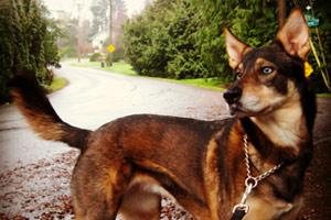 Bellevue Seattle Dogs, Maple Leaf Dog Walking, Dog Walker 98115