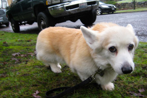 Corgis, Ravenna Dogwalking, Bellevue Seattle Dogs