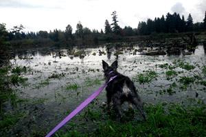 Puppy Care Lake Hills Bellevue, Dog Walker 98007, Schnauzer Puppies