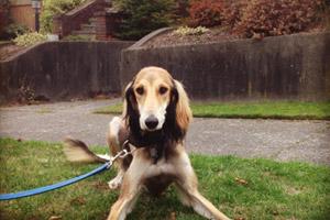 Dog Walking Greenwood, Bellevue Seattle Dog Walker, Saluki Dogs