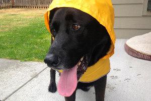 Greenwood Seattle Dog Walker, Black Labs, Sniff Seattle Bellevue
