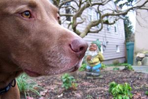 Pit Bull Labroador, Maple Leaf Dog Walking, Bellevue Seattle Dogs
