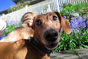Green Lake Dog Walker, Dachshunds, Bellevue Seattle Dogs