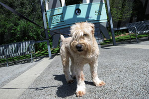 Wheaten Terriers, Greenwood Dog Walker, Bellevue Seattle Dogs