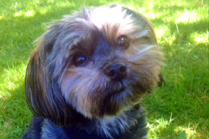 Yorkiepoos, Dog Walker Greenlake Green Lake, Sniff Seattle Bellevue Dog Walkers