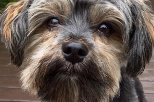 Yorkiepoo, Dog Walker Wallingford, 98103 Dog Walking