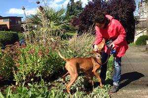 Vizsla, Dog Walker Central Seattle, Bellevue Seattle Dogs