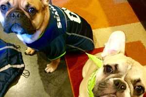 Frenchies, Dog Walking Greenlake, Dogs In Seahawks Jerseys