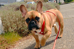 French Bulldogs, Dog Walker Magnolia, Bellevue Seattle Dogs