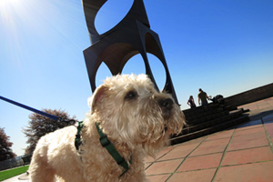 Dog Sitter Queen Anne, Kerry Park, Wheaten Terriers