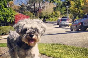 Dog Walker Laurelhurst, Sniff Seattle Bellevue, Schnauzers