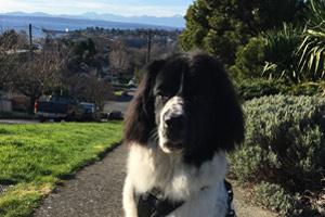 Queen Anne Dog Walking, Sniff Seattle Bellevue, Dog Walker 98109