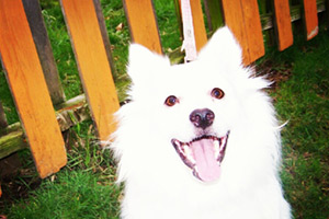 Queen Anne Dogwalker, Dog Walking 98109 98119, Eskimo (Dog)