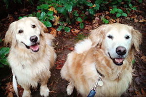 98122 Dog Walking, Golden Retriever, Happy Dogs