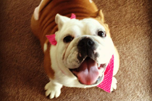Puppy Care 98116, Sniff Seattle Bellevue, English Bulldogs