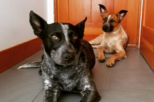 Dog Walking Queen Anne, Aussies, Australian Shepherd