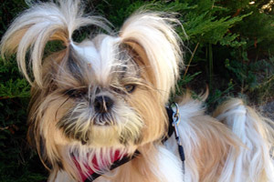 We Shih Tzu Not, Magnolia Dog Walker, Cute Dog