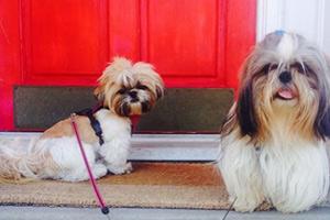 Dog Walker Magnolia, Shih Tzu