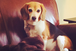 Dog Walker Ravenna Seattle, 98115 Dog Walking, Beagles