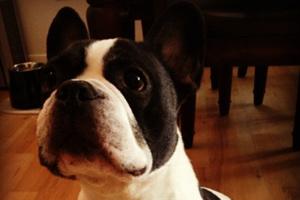 Dog Walker West Seattle, Sniff Seattle Bellevue, 98116 French Bulldogs