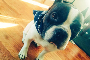 Dog Walking West Seattle, French Bulldogs, Dogs For Seahawks