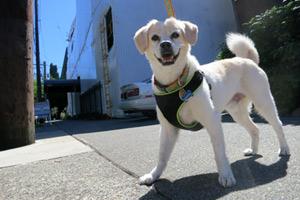 98102 Dog Walker, Capitol Hill Dog Walking, Bellevue Seattle Dogs