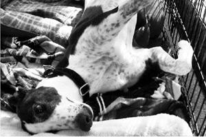 Greyhound Adoptions, Royal Hounds, Dog Walking Greyhounds Seattle Bellevue