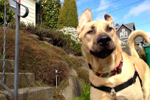 Mastiffs, Bellevue Seattle Dogs, Dog Walker Ballard