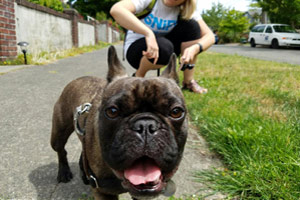 Dog Walking 98103, Wallingford Dog Walker, French Bulldog