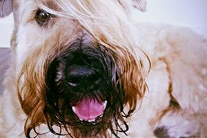 Dog Walker 98101, Premiere On Pine, Wheaten Terrier