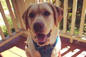 Dog Walker 98103, Yellow Lab, Labrador Retriever
