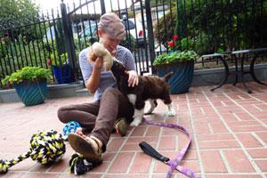 Springer Spaniel Puppy, Puppy Care North Seattle, Dog Walking 98177