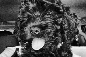 Montlake Puppy Care, Labradoodles, Sniff Seattle Bellevue Dog Walkers