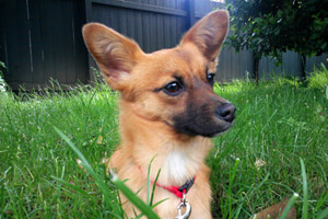 Corgi Dogs, Dog Walking 98103, Sniff Seattle Bellevue Dog Walkers