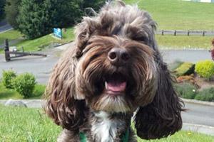 Dog Walking Shoreline, Goldendoodle, Shoreline Dogs