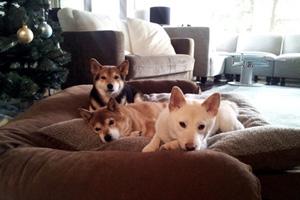 Shiba Inus, Dog Walking Shoreline, Dog Walker 98133 98155 98177