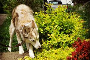 Greenwood Dog Walker, Dog Walking 98103 98117, Bellevue Seattle Dogs