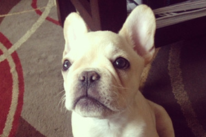 Puppy Care Seattle, Bellevue Seattle Dogs, Frenchies