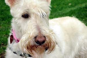 Sniff Seattle Bellevue, South Lake Union Dog Walker, Scottish Terrier