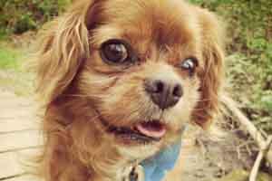 Sniff Seattle Bellevue Dog Walkers, Dog Walking Sammamish, Cavalier King Charles Spaniels