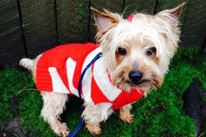 Dogs In Sweaters, Dog Walker 98112, Bellevue Seattle Dogs