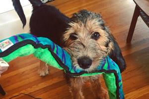 Dog Walker Wallingford, Otterhound Puppy, Cute Dog