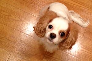 King Charles Spaniel, Dog Walking Belltown, Sniff Seattle Bellevue Dog Walkers