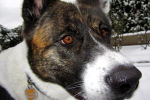 98121 Dog Walking, Akitas, Belltown Seattle
