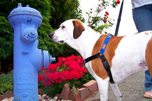 Seattle Pet Sitters (98119), Sniff Seattle Dog Walkers, Dog And Fire Hydrant