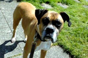 Sniff Seattle Dog Walkers, Boxer, Green Lake Dog Walking